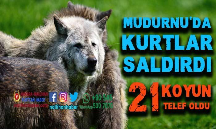 Mudurnu'da kurtlar saldırdı! 21 koyun telef oldu