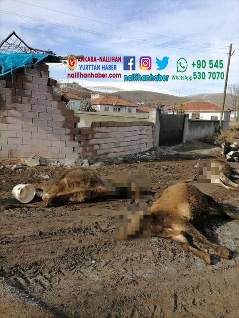 Ankara gölbaşında 9 hayvan neden telef oldu?